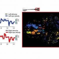Neural circuits for visuomotor behavior